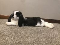 Holland Lop Rabbits for sale in Wexford, PA 15090, USA. price: NA