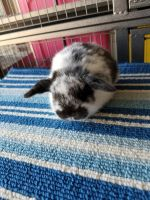 Holland Lop Rabbits for sale in Bloomington, CA, USA. price: NA