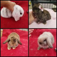 Holland Lop Rabbits for sale in Thomaston, GA 30286, USA. price: NA