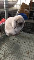Holland Lop Rabbits for sale in Columbus, IN, USA. price: NA