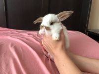 Holland Lop Rabbits for sale in Midlothian, VA 23112, USA. price: NA