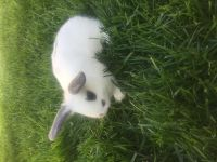 Holland Lop Rabbits for sale in Brooklyn, NY, USA. price: NA