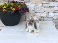Holland Lop Rabbits for sale in Ada, OH 45810, USA. price: NA