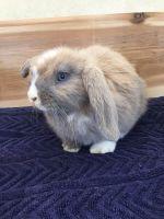 Holland Lop Rabbits for sale in Orlando, FL, USA. price: NA