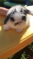 Holland Lop Rabbits for sale in Beattyville, KY 41311, USA. price: NA
