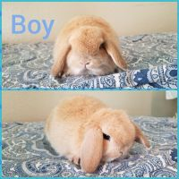 Holland Lop Rabbits for sale in Moreno Valley, CA 92557, USA. price: NA