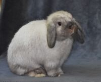 Holland Lop Rabbits for sale in Oberlin, OH 44074, USA. price: NA
