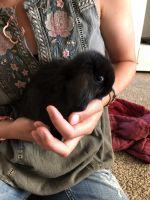 Holland Lop Rabbits for sale in Santa Clarita, CA, USA. price: NA