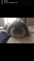 Holland Lop Rabbits for sale in North Richland Hills, TX 76182, USA. price: NA