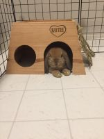Holland Lop Rabbits for sale in Cleveland, OH, USA. price: NA