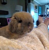 Holland Lop Rabbits for sale in Sandwich, IL, USA. price: NA