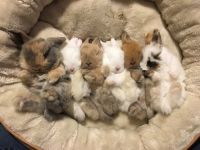 Holland Lop Rabbits for sale in Danbury, CT, USA. price: NA