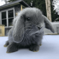 Holland Lop Rabbits for sale in Sayreville, NJ 08872, USA. price: NA