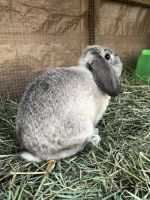 Holland Lop Rabbits for sale in Dunkirk, MD, USA. price: NA