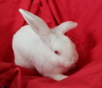 Holland Lop Rabbits for sale in Powder Springs, GA, USA. price: NA