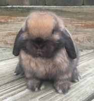 Holland Lop Rabbits for sale in Leland, IL 60531, USA. price: NA