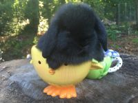 Holland Lop Rabbits for sale in Waynesville, NC 28786, USA. price: NA