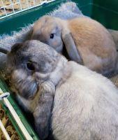 Holland Lop Rabbits for sale in Calcutta, OH 43920, USA. price: NA
