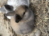 Holland Lop Rabbits for sale in Fayetteville, NC, USA. price: NA