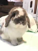 Holland Lop Rabbits for sale in Belton, TX, USA. price: NA