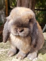 Holland Lop Rabbits for sale in Cumming, GA, USA. price: NA