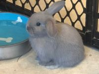 Holland Lop Rabbits for sale in Hollywood, FL 33019, USA. price: NA
