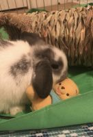 Holland Lop Rabbits for sale in Towson, MD, USA. price: NA