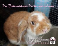 Holland Lop Rabbits for sale in Palm Bay, FL, USA. price: NA