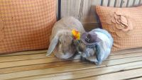 Holland Lop Rabbits for sale in Trenton, NC 28585, USA. price: NA