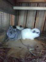 Holland Lop Rabbits for sale in St. Petersburg, FL, USA. price: NA