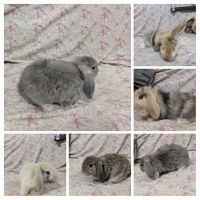 Holland Lop Rabbits for sale in Queens, NY, USA. price: NA