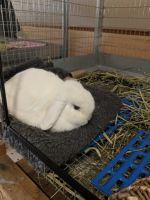 Holland Lop Rabbits for sale in Slatington, PA, USA. price: NA