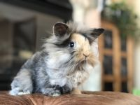Holland Lop Rabbits for sale in Hudson, WI 54016, USA. price: NA