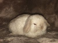 Holland Lop Rabbits for sale in Dobson, NC 27017, USA. price: NA