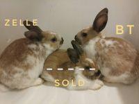 Holland Lop Rabbits for sale in Batavia, NY 14020, USA. price: NA