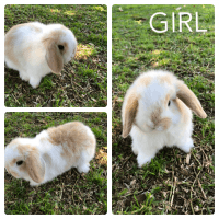 Holland Lop Rabbits for sale in Downey, CA, USA. price: NA