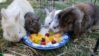 Holland Lop Rabbits for sale in Downey, CA 90240, USA. price: NA