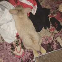 Holland Lop Rabbits for sale in West Boylston, MA 01583, USA. price: NA