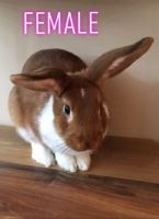 Holland Lop Rabbits for sale in Wake Forest, NC 27587, USA. price: NA