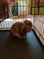 Holland Lop Rabbits for sale in Delton, MI 49046, USA. price: NA