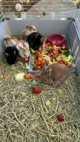 Holland Lop Rabbits for sale in Fairfield, CA, USA. price: NA