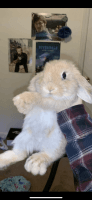 Holland Lop Rabbits for sale in Durham, NC, USA. price: NA