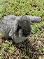 Holland Lop Rabbits for sale in Briggsdale, CO 80611, USA. price: NA