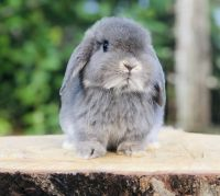 Holland Lop Rabbits for sale in Woodlawn, VA, USA. price: NA