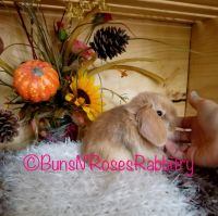 Holland Lop Rabbits for sale in Forest Lake, MN, USA. price: NA