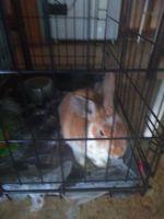 Holland Lop Rabbits for sale in 3770 Swenson St Apt. J208, Las Vegas, NV 89119, USA. price: NA