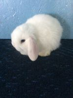 Holland Lop Rabbits for sale in Sanborn, NY 14132, USA. price: NA
