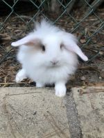 Holland Lop Rabbits for sale in Anaheim Hills, Anaheim, CA, USA. price: NA
