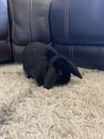 Holland Lop Rabbits for sale in West Chester, PA, USA. price: NA