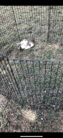 Holland Lop Rabbits for sale in Norman, OK, USA. price: NA